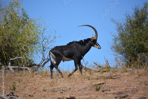 Fotobehang Antilope Male Sable Antelope (one of endangered species) is walking in the bush, Chobe National Park, Kasane, Botswana, Africa