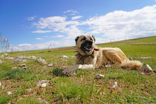 Anatolian Shepherd Dog With Spiked Iron Collar Lying On Pasture. (Spiked Iron Collar   Protects The Necks Of Dog Against Wolf.