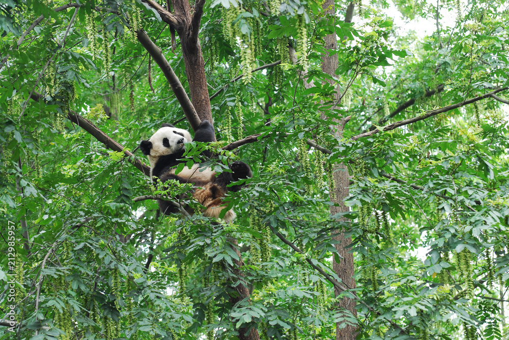 young panda climbing up and playing on the tree