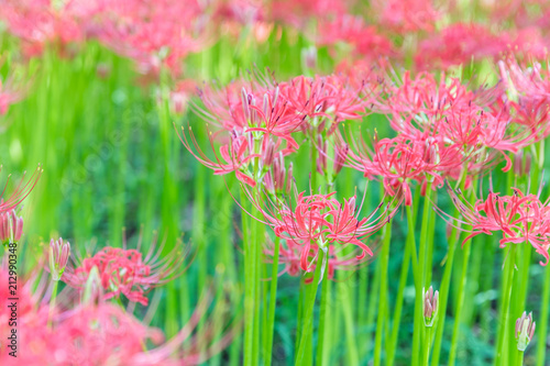 In de dag Candy roze Close - up Red spider lily in autumn