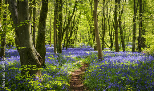 Sunlight illuminating woods with a carpet of bluebells Canvas Print