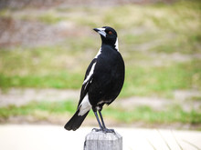 An Australian Magpie Perched On A Wood Log.
