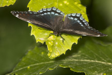 Red-spotted Purple Butterfly Resting With Wings Open, New Hampshire.