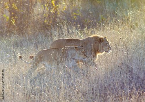 Zdjęcie XXL duma lwów