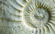 A Fossil Ammonite In A Close-up