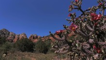 Staghorn Cholla Cactus Blowing...