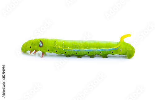 Green worm caterpillars animals isolate on white background