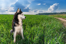 Blue-eyed Siberian Husky Black And White Color Sitting On Bright Green Field. Portrait Husky Dog Looking To The Side. Copy Space.