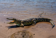 Nile Crocodile In Chobe River,...