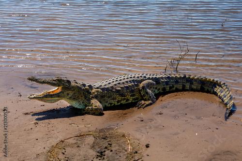 In de dag Krokodil Nile Crocodile in Chobe river, Botswana