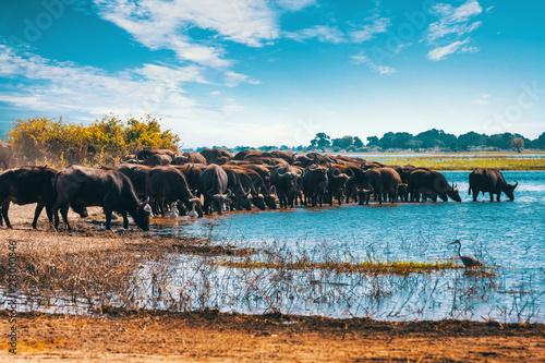 Keuken foto achterwand Buffel Cape Buffalo at Chobe river, Botswana safari wildlife