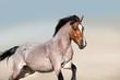 Roan horse free run fast in sandy dast