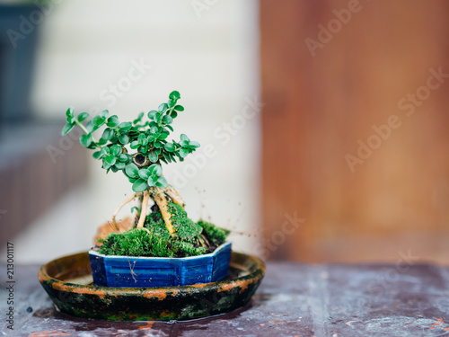 Tuinposter Bonsai Small bonsai in blue ceramic pot.