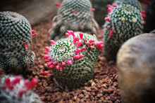 Mammillaria Sp. Clump Have See...