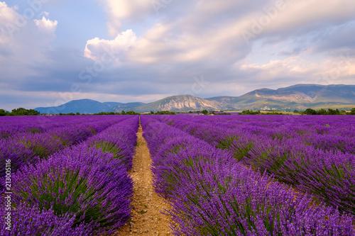 Wall Murals Lavender Champ de lavande en fleurs, coucher de soleil. Plateau de Valensole, Provence, France.