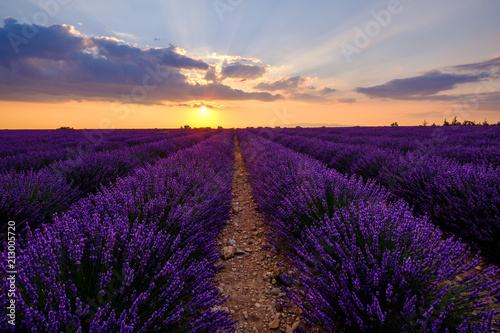 Poster Violet Champ de lavande en fleurs, coucher de soleil. Plateau de Valensole, Provence, France.