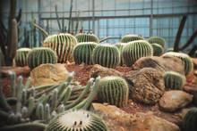 Echinocactus Grusonii, Cactus In Garden Has A Brown Stone Around, Cacti, Cactaceae, Succulent, Tree, Drought Tolerant Plant.