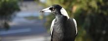 Closeup Of Australian Magpie B...