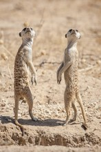 Meerkats (Suricata Suricatta) On Lookout, Kgalagadi Transfrontier Park, Northern Cape, South Africa, Africa