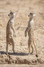 Meerkats (Suricata Suricatta) On Lookout, Kgalagadi Transfrontier Park, Northern Cape, South Africa, Africa