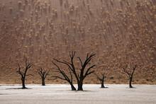 Dead Camel Thorn Trees (Vachel...