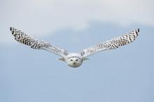 Snowy Owl (Bubo Scandiacus) In...