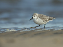 Close Up Of Sanderling Bird