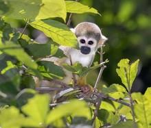 Squirrel Monkey (Saimiri Sciur...