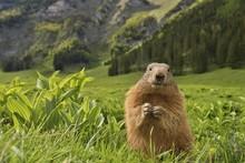 Marmot (Marmota), In A Meadow, Mountain Landscape, Reichenstein, Styria, Austria, Europe