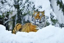 Siberian Tiger Or Amur Tiger (Panthera Tigris Altaica), Lying In The Snow, Captive, Switzerland, Europe
