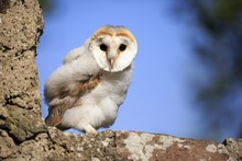 Common Barn Owl (Tyto Alba), Fledgling Sitting On Wall, Kasselburg, Eifel, Germany, Europe