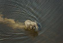African Elephants (Loxodonta A...