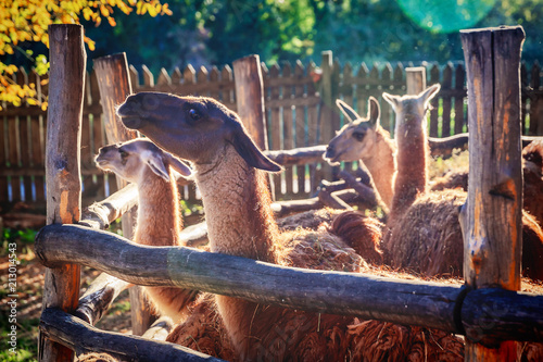 Canvas Prints Dragons llama in enclosure