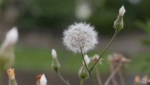 Dandelion (Taraxacum Officinale), Aka Puffball, Lion's Head And Monk's Head, Broad-leafed Flowering Weed Close Up
