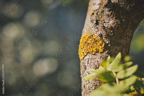 Photo Yellow lichen leprosy on the trunk of a fruit tree 1240.