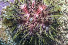 Caribbean Coral Reef Sea Urchin