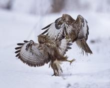 Common Buzzards (Buteo Buteo) ...