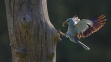 European Roller (Coracias Garrulus), Landing At Nest With Prey In Beak, Great Green Bush Cricket (Tettigonia Viridissima), Contre-jour, Kiskunsag National Park, Hungary, Europe