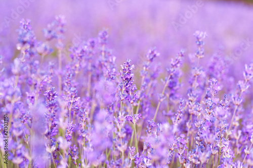Fototapeta Lavender Field in the summer obraz na płótnie