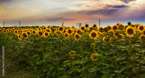 Poster Heuvel Landscape dark sky with storm clouds and bright sunflower flowers field in the evening gold light.