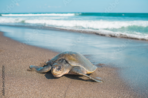 Poster Tortue Giant turtle on the beach in Bali