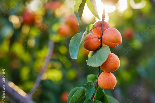 Branch of tree with ripe apricots Canvas Print