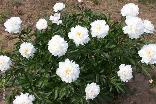 Peony Flower White Kaufen Sie Dieses Foto Und Finden Sie Hnliche