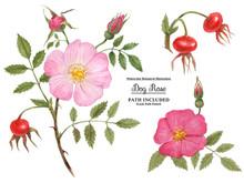 Watercolor Botanical Illustration Branch, Fruit And Flower Of Cinnamon Rose