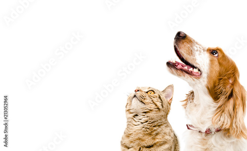 Poster Hond Portrait of a dog Russian Spaniel and cat Scottish Straight isolated on white background