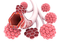 Alveoli In Lungs 3d Illustration