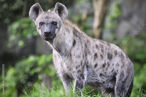 Tuinposter Hyena Spotted hyena (Crocuta crocuta), also known as the laughing hyena close up side view animal wildlife.