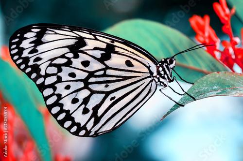 Poster Butterfly Closeup beautiful butterfly & flower in the garden.