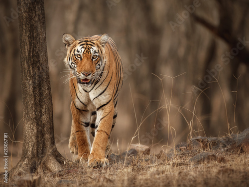 Foto op Canvas Tijger Beautiful tigress in the nature habitat. Tiger walk during the golden light time. Wildlife scene with danger animal. Hot summer in India. Dry area with beautiful indian tiger, Panthera tigris tigris