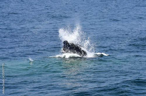 Humpback Whale Surfacing off New England Coast #213057779